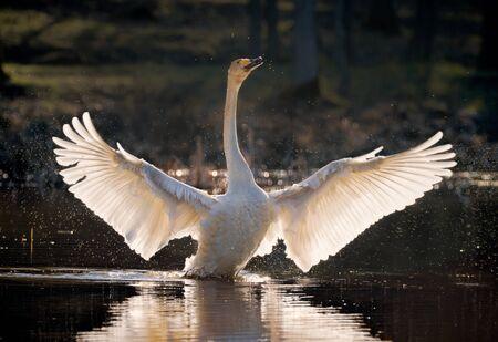 graceful whooper swan in lake
