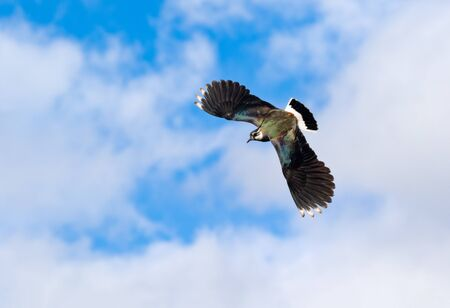 lapwing in summer Stock Photo