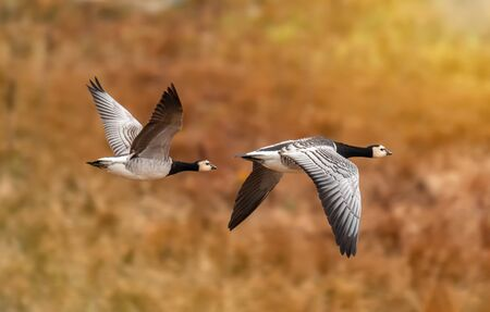 barnacle geese in flight in autumn