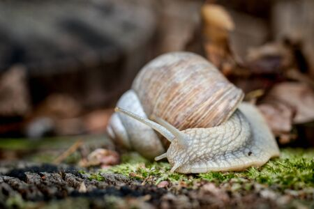 Edible snail on moss on the forest floor