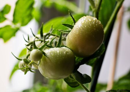 unripe tomatoes in the kitchen window