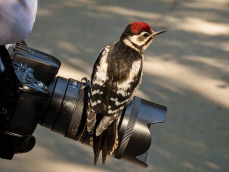 Great spotted a woodpecker sitting on camera lens on a summer day Stock Photo