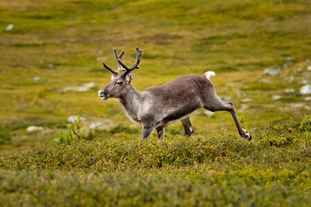 lonely reindeer in the mountains