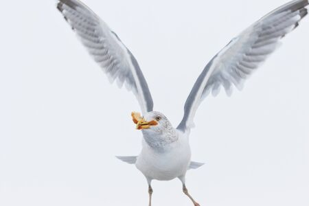seagull with food in beak Stock Photo