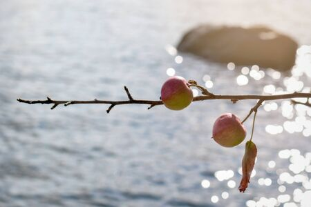 ripe red wild apples in autumn