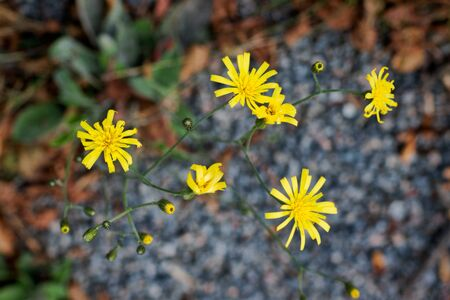 Small bright yellow flowers on autumn day