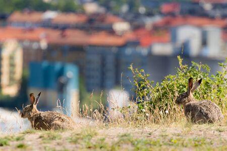 urban rabbits in stockholm in summer