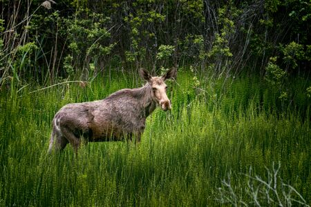 young moose in green field