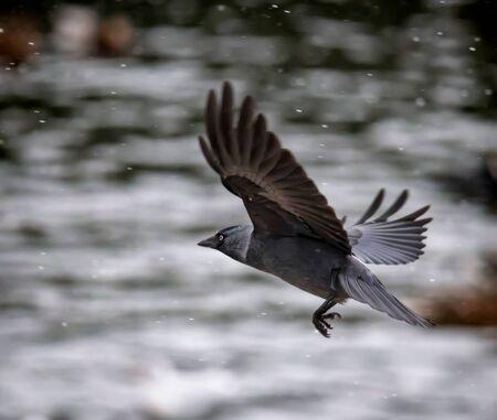 flying jackdaw crow in heavy snowfall