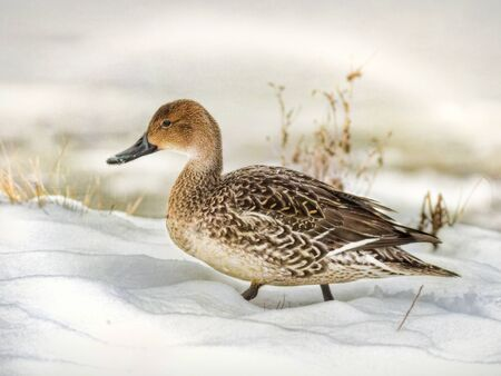 pintail duck in winter