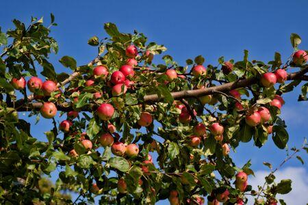 wild ripe red apples in autumn