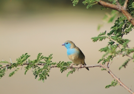 mankind: Blue Waxbill - Wild game birds from Africa