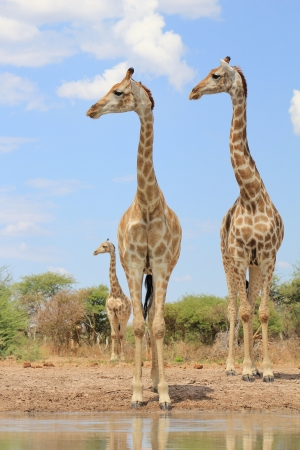Giraffe - African Wildlife - Three look right photo