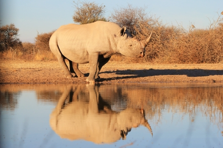 endangered species: Black Rhino Reflection - Rare and Endangered species from Africa