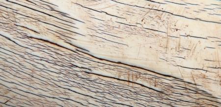 Elephant Ivory - A real close-up of a live Elephant s tusk
