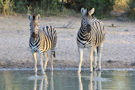 Zebras at a watering hole in Africa - Striped Camouflage photo
