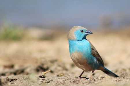 Wild Birds from Afirca - Super Blue Waxbill - Brilliant Blue photo