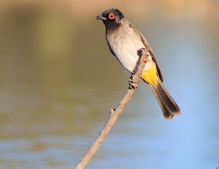 redeye: Red-eye Bulbul - Wild Birds from Africa - Portrait of Art and Color and Peace