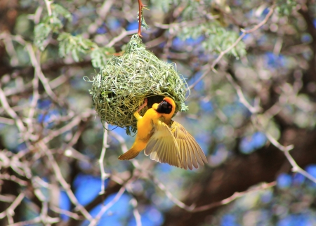 weaver bird nest: Weaver, Black-Masked - Wild Birds from Africa - To build a Home Stock Photo