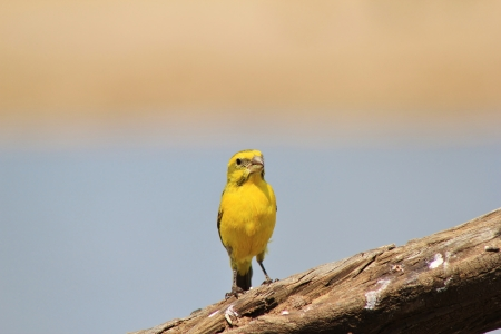 wild canary: Yellow Canary - Wild Birds from Africa - Pose of Color Stock Photo