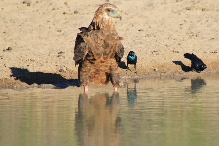 swoop: Eagle, Bateleur and Purple-Eared Starling Friends - African King of the Skies Stock Photo
