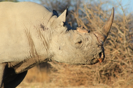 endangered species: Endangered Species from Africa - Black Rhino Portrait