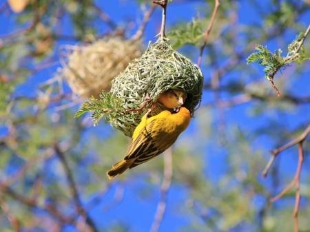 bird nest: Yellow-Masked Weaver Nest awaiting approval from the female inside - Wild Birds from Africa Stock Photo
