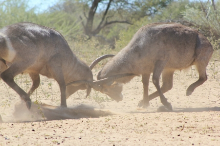Danger of the Horn - Waterbuck bulls fighting to end - Wildlife from Africa  Stock Photo