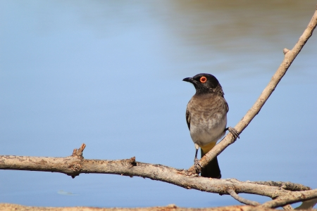Red-eye Bulbul - Wild Birds from Africa - Taking the time to Watch and Learn Stock Photo
