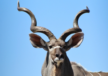 Kudu Antelope - Wildlife from Africa  photo
