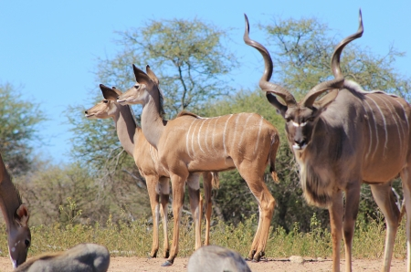 Kudu Antelope - Wildlife from Africa - Spiral Horns and gentle cows as these elegant mammals gather on a game ranch in Namibia photo