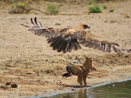 mankind: Eagle, Tawny - Wild Birds from Africa - Incoming flight over friendly territory