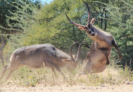 weaker: Waterbuck - Wildlife from Africa - Making a run for it after the dominant bull takes victory from the weaker one  Stock Photo