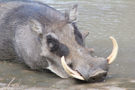warts: Warthog - Wildlife from Africa - Sometimes life is tough, but you have to take its as it comes - With warts and all