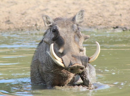 antics: Warthog - Wildlife from Africa - Boar antics and Free Spa Stock Photo