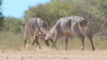fighting bulls: Waterbuck - Wildlife from Africa - Fighting Bulls