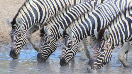 captivate: Zebra - Wildlife from Africa - In a perfect line, these beauties enjoy water at sunset and captivate the mind and imagination Stock Photo
