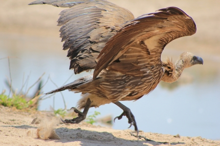 scavenge: Vulture, White-backed - Wild Birds from Africa - Taking off into the world in the sky Stock Photo