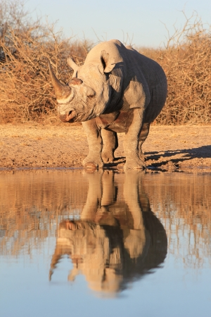 rhino: Black Rhino - Endangered African Mammal with its reflection of color and power