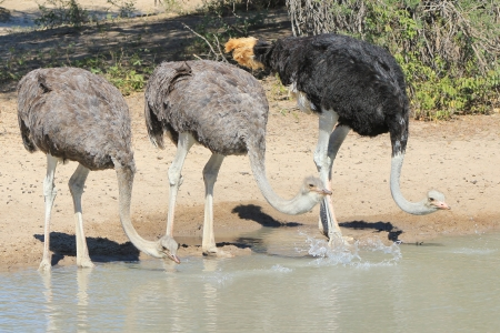 Ostrich trio - Wildlife from Africa - Drinking water with fine feathers