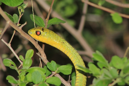 venom: Snake, Tree - Dangerous Reptiles from Africa - Into the eye of Venom