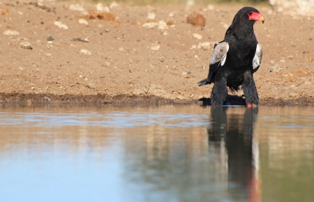 Eagle, Bateleur - Wild Birds from Africa - Reflections of Power and Pride photo