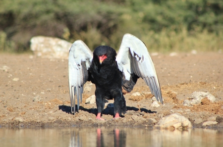 Eagle, Bateleur - African King of the Skies on the Ground photo