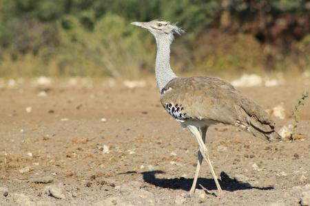 cross leg: Kori Avutarda - Aves Silvestres de �frica - Cross pie pierna
