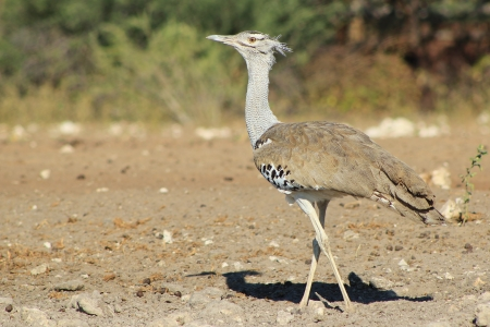 cross leg: Kori Bustard - Wild Birds from Africa - Cross leg walk Stock Photo