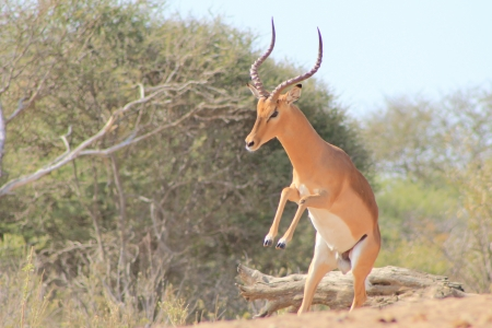 rut: Impala, Common - Wildlife from Africa - Rare shot of a ram walking like a man Stock Photo