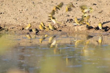 flutter: Yellow Finch Flight - Wild Birds from Africa - Flutter of Feathers Stock Photo