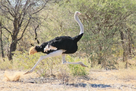 Ostrich Run - Wildlife from Africa - Running on Air