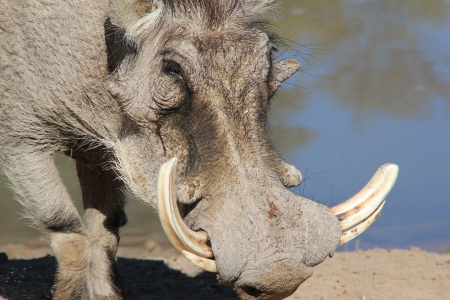 Warthog - Portrait of an old timer with big tusks   Photographed in Namibia   photo