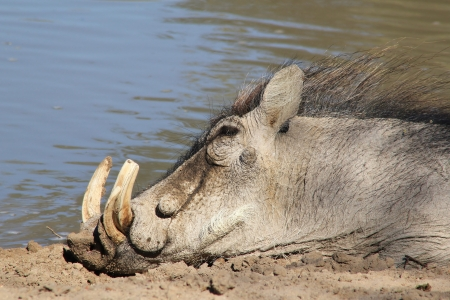 Warthog - Sleeping Beauty from Namibia   photo